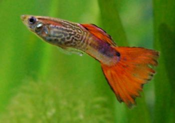File:Male Guppy.jpg