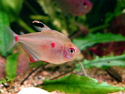 File:Bleedinghearttetra7563.jpg
