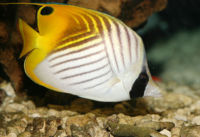 Threadfinbutterflyfish.jpg