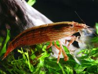 Wood shrimp (Atyopsis moluccensis) - The Free Freshwater and