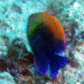 Pottersangelfish-4572.jpg