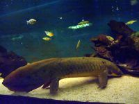 Queenslandlungfish-4773.jpg