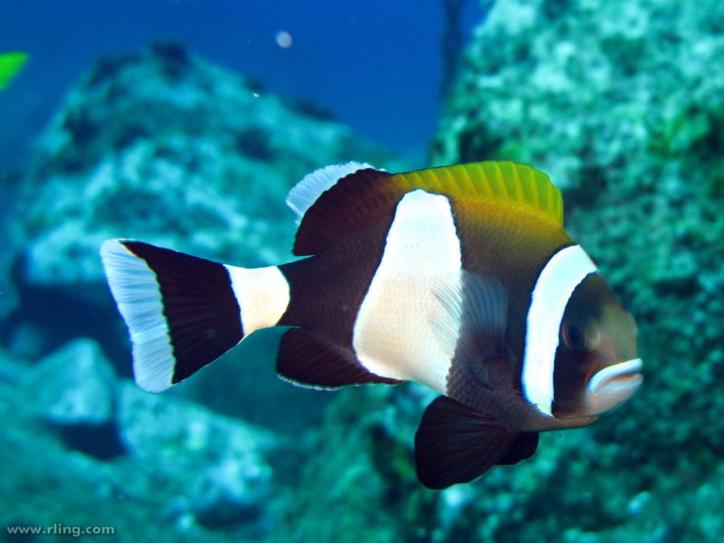 File:Amphiprion latezonatus-9029.jpg