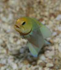 Yelloheadjawfish.jpg