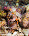 Mating hermit crab1.jpg