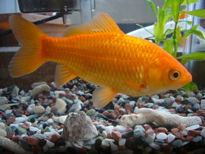 Commongoldfish-3888.jpg