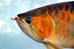Asianarowana-superred.jpg