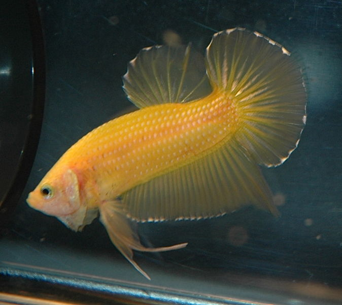 File:Betta-goldyellow-2219.jpg