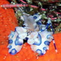Harlequin shrimp-3482.jpg