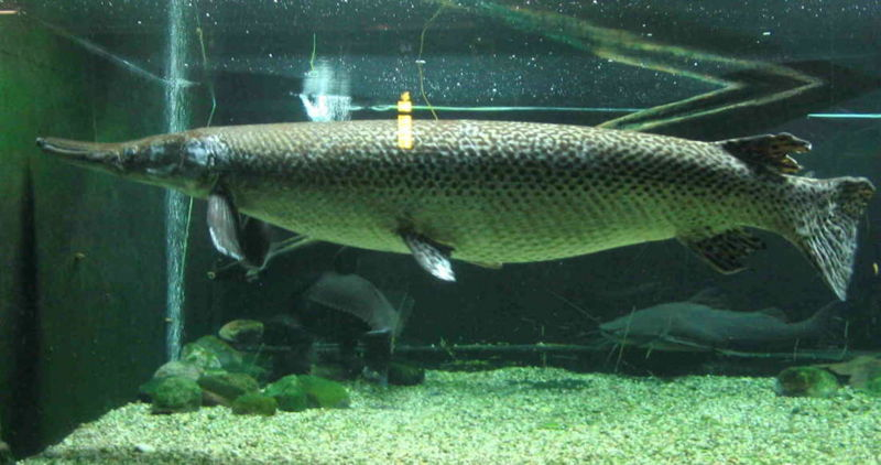 File:Alligator gar-1055.jpg