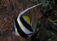 False Moorish Idol Heniochus Diphreutes The Free Freshwater