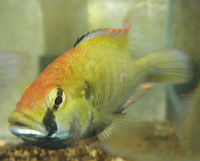 Astatotilapia calliptera male.jpg