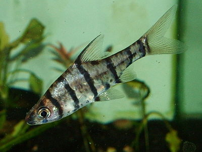 False Eight-Banded Barb