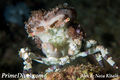 Decorator crab1.jpg