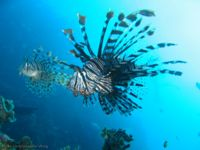 CommonLionfish-5187.jpg