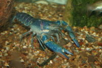 Redclaw Crayfish (Cherax quadricarinatus) - The Free Freshwater and Saltwater Aquarium Encyclopedia Anyone Can Edit