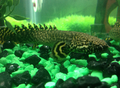 Polypterus ornatipinnis.png
