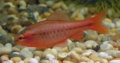 Male Cherry Barb.jpg